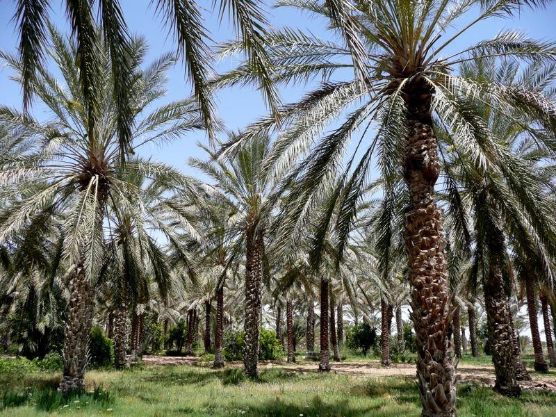 Douz palm oasis